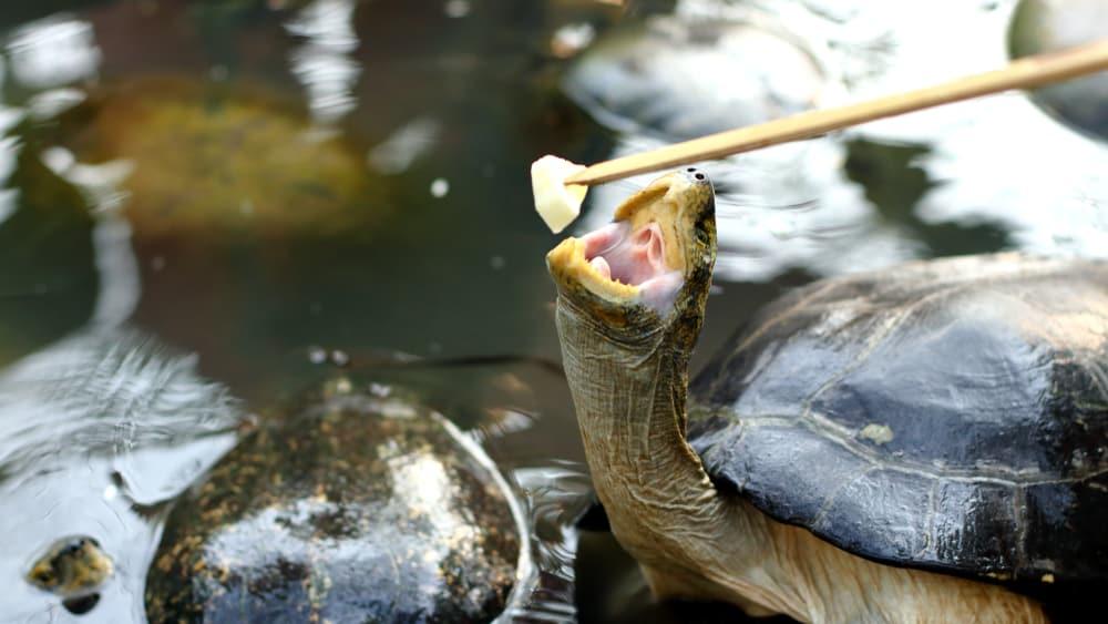 Box Turtle Habitat & Biology