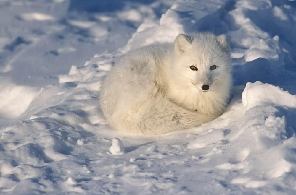 Do Arctic Foxes Eat Dirt