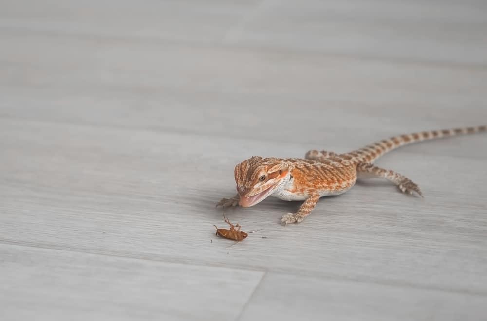 Do Baby Bearded Dragons Eat Dirt