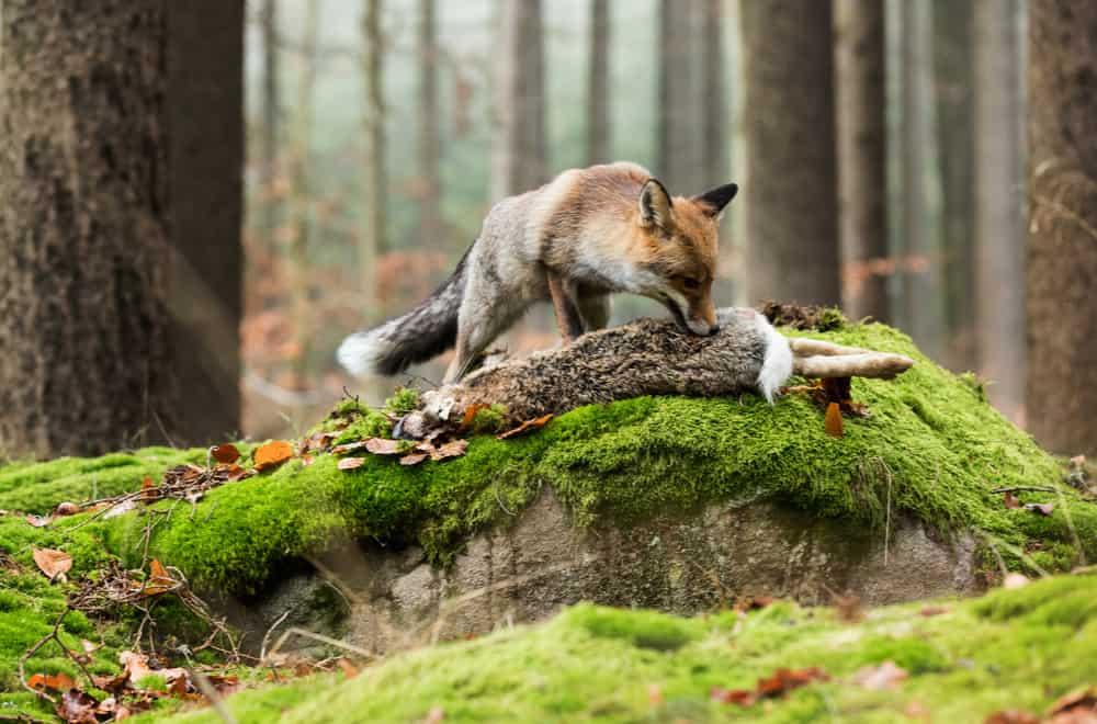Do Foxes Eat Dirt