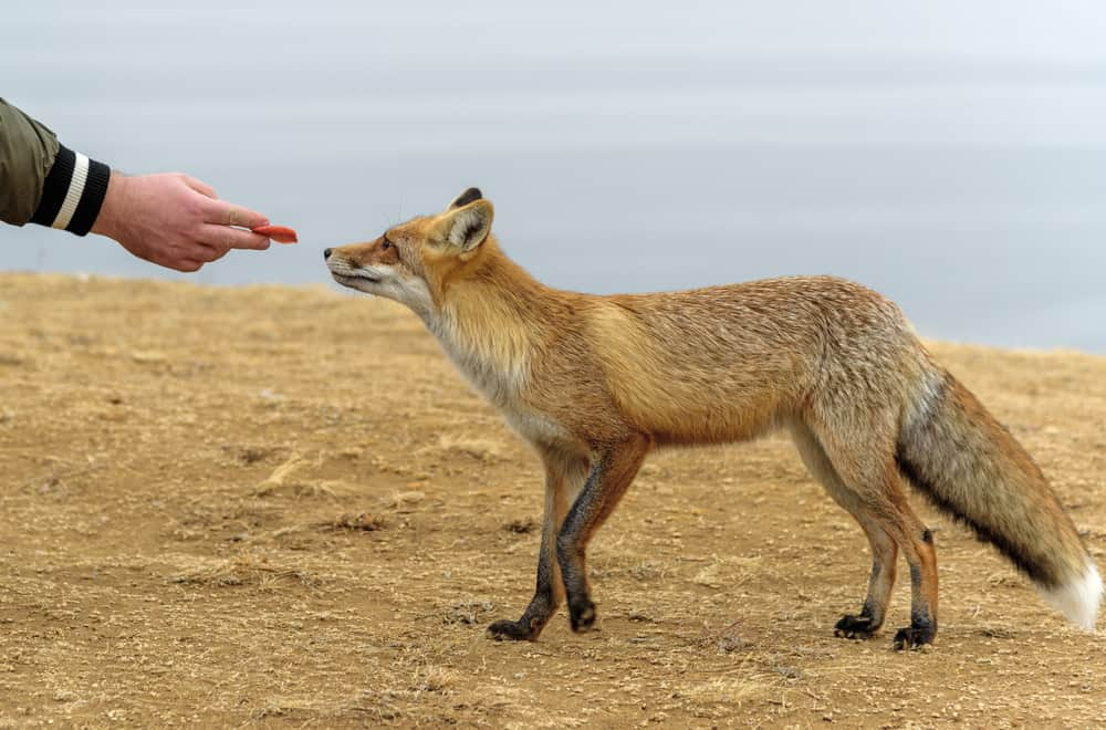 Food to Avoid Feeding Foxes