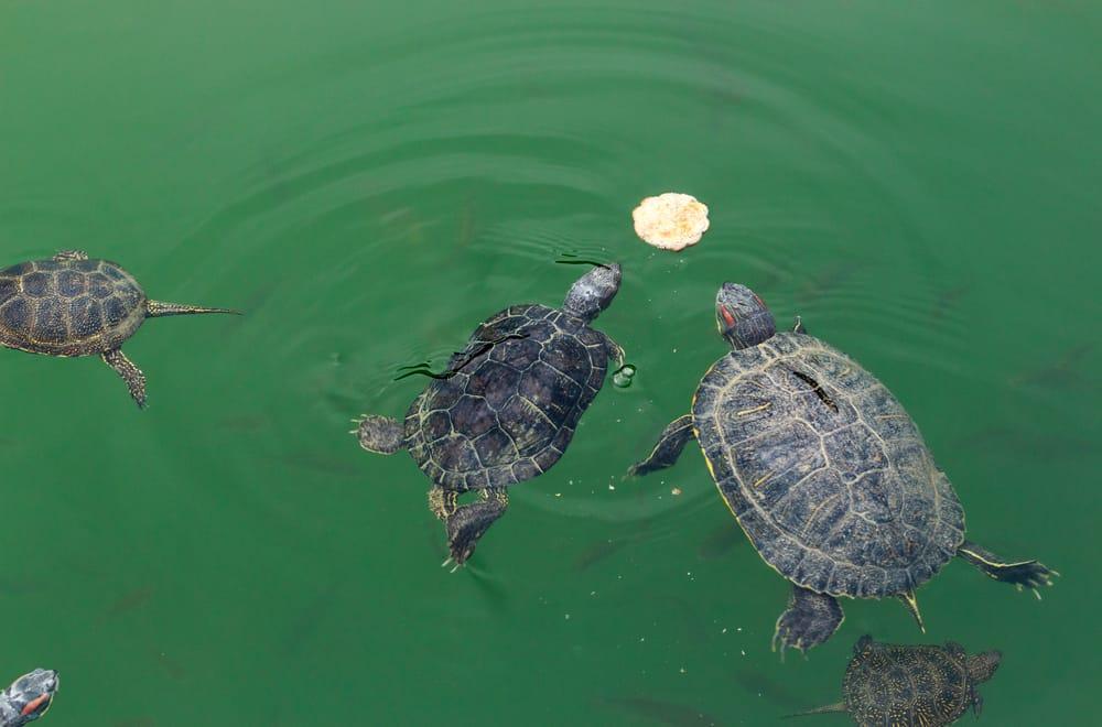 Food to Avoid Feeding Painted Turtles