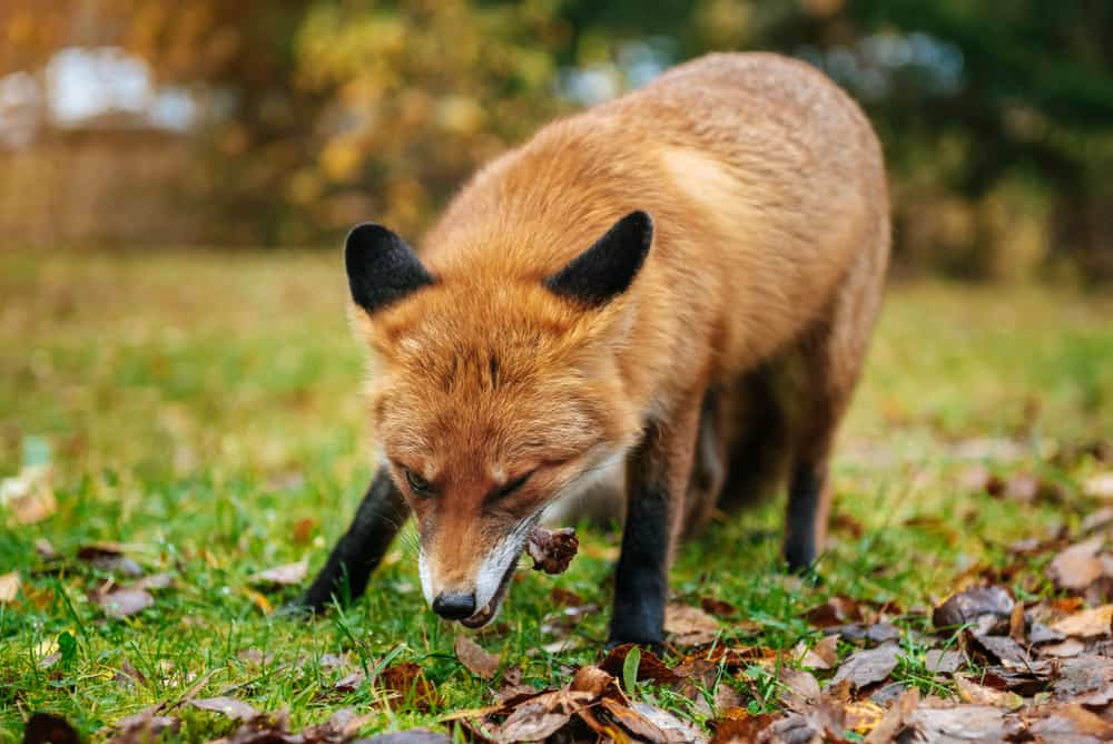Kit Foxes FAQs