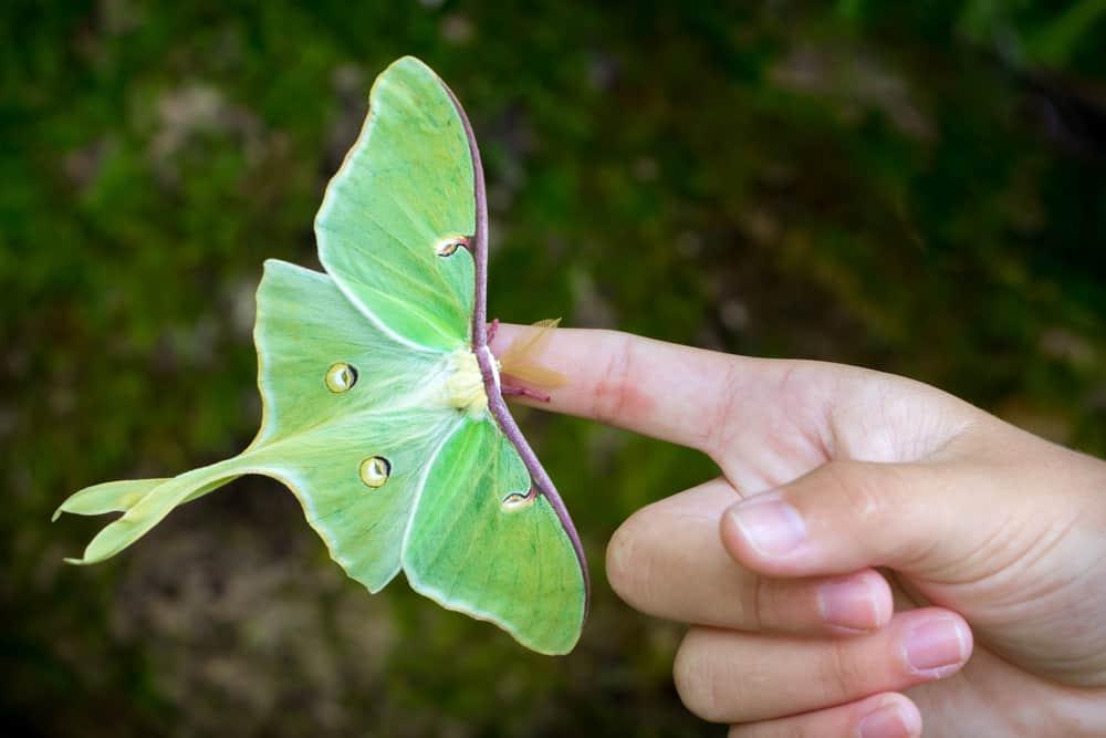 Luna Moth's Human Relationships
