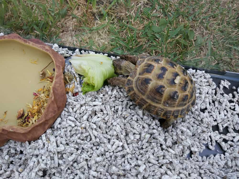 What do Box Turtles Eat
