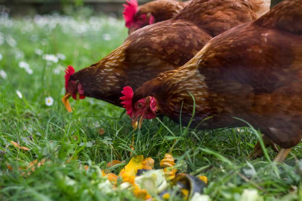 Do Chickens Eat Dirt