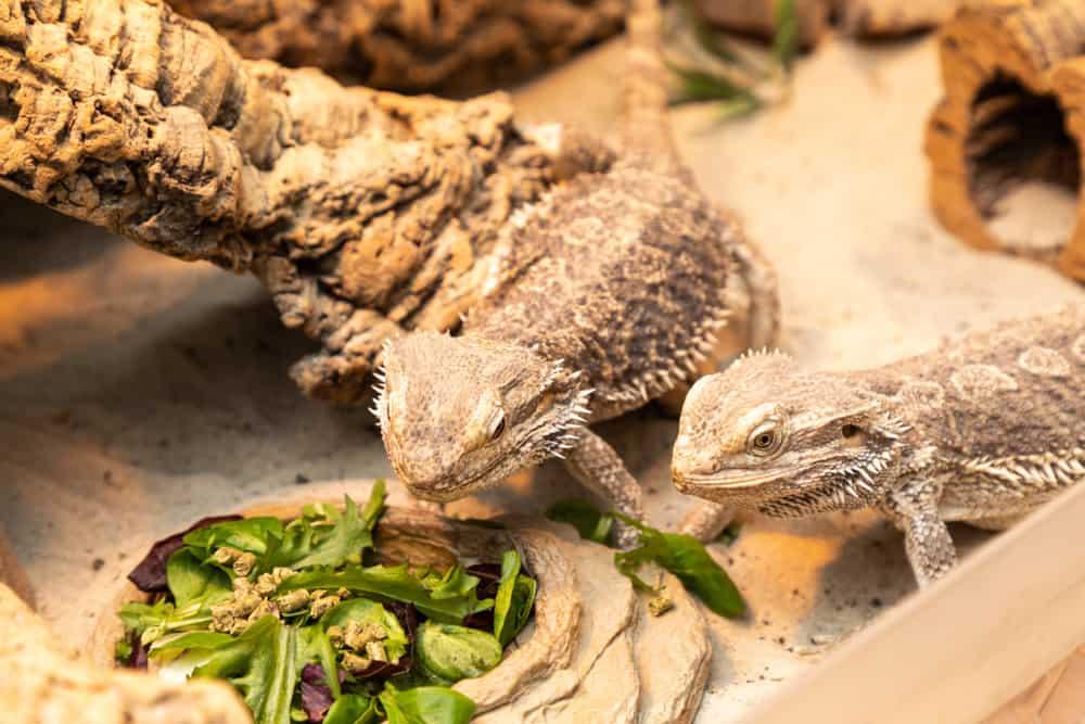 Do Lizards Eat Dirt