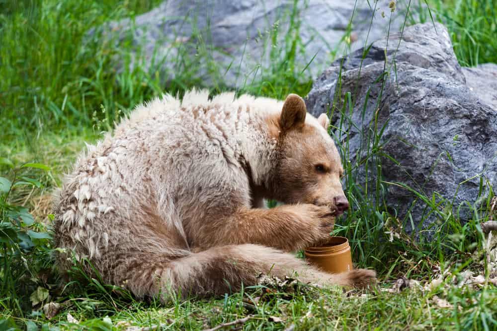 Foods To Avoid Feeding Bears