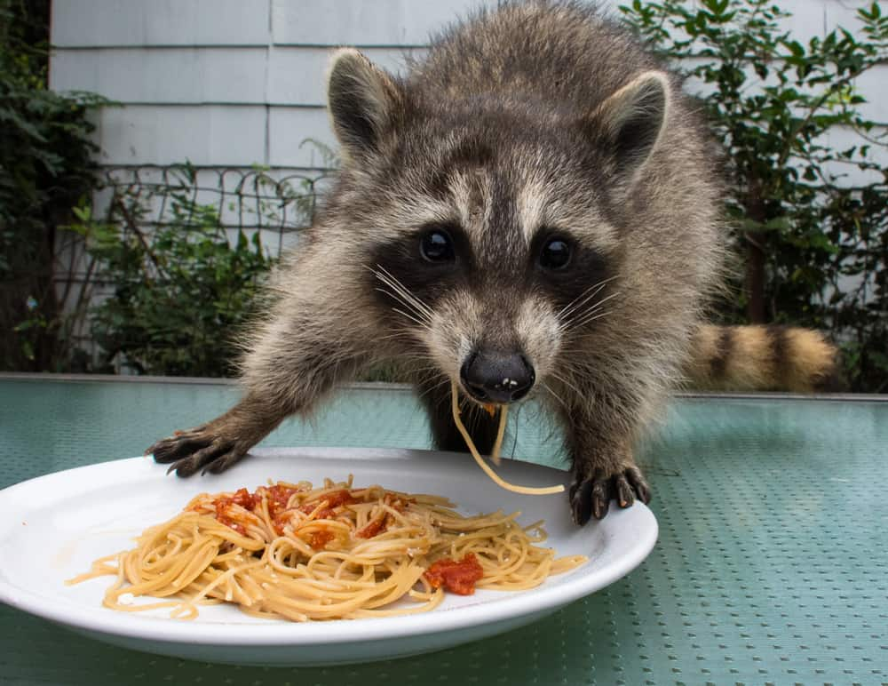 Foods To Avoid Feeding Raccoons