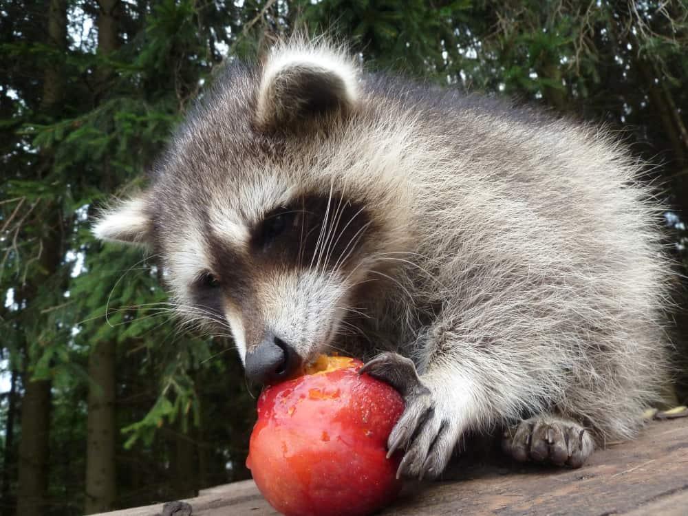 Tips To Feeding Raccoons