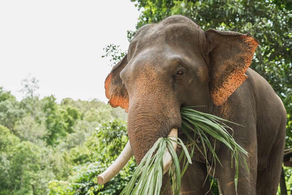 What do elephants eat