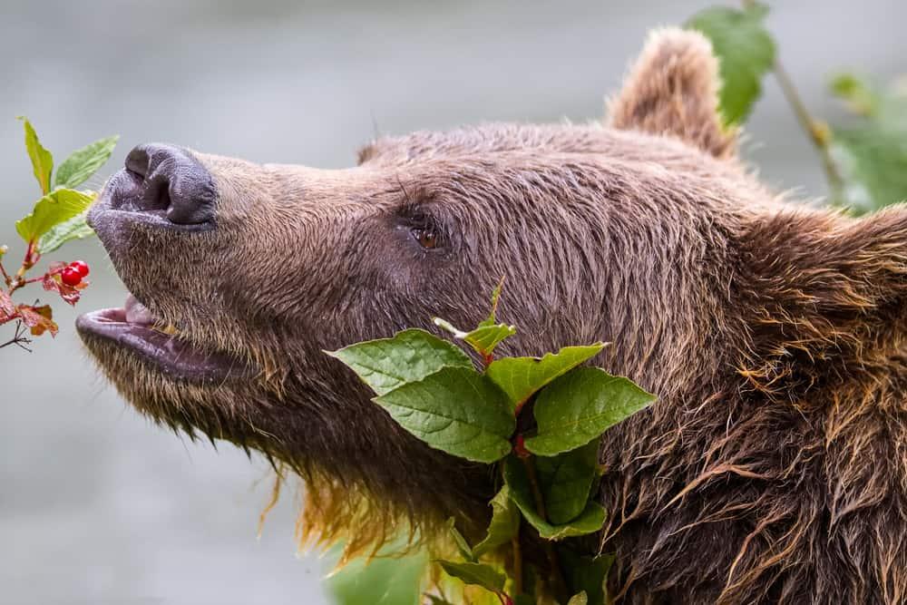 what do bears eat