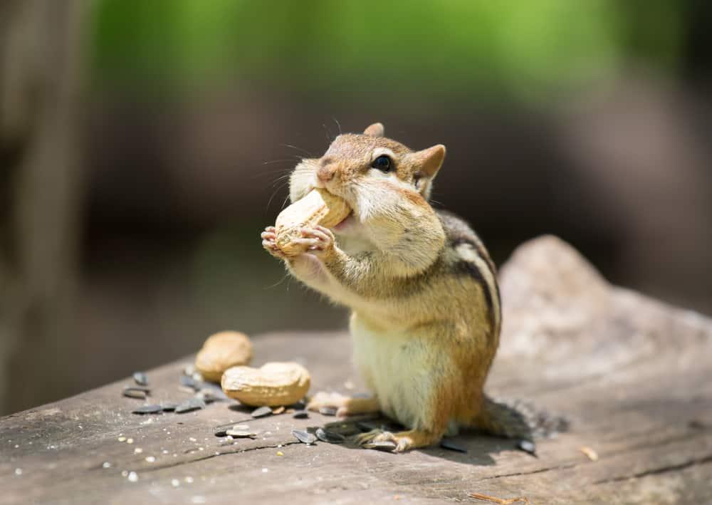 what do chipmunks eat
