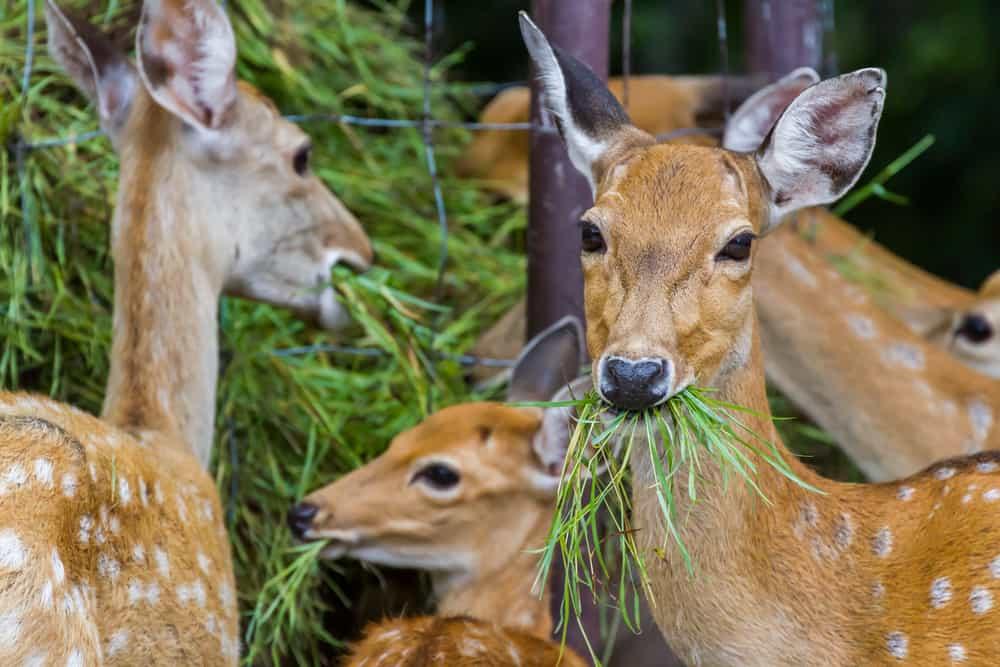 what does deer eat