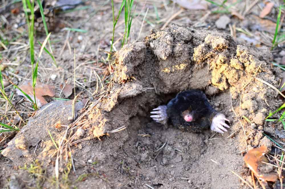 Moles In Yard