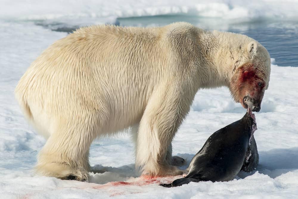 What Do Polar Bears Eat in the Wild