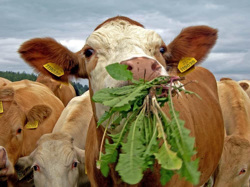 cows diet