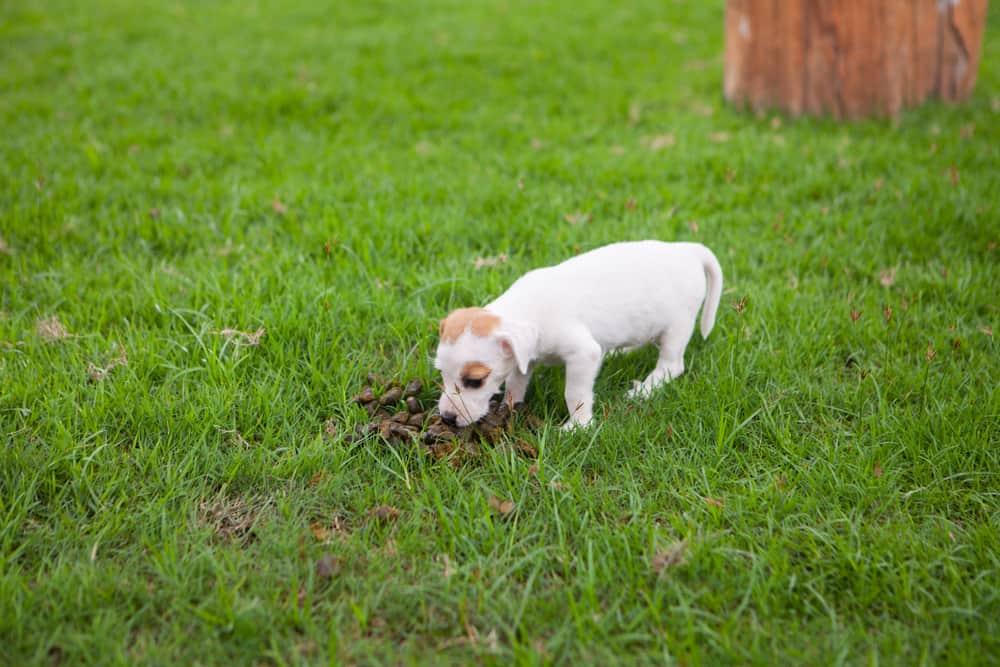puppy eat Poop