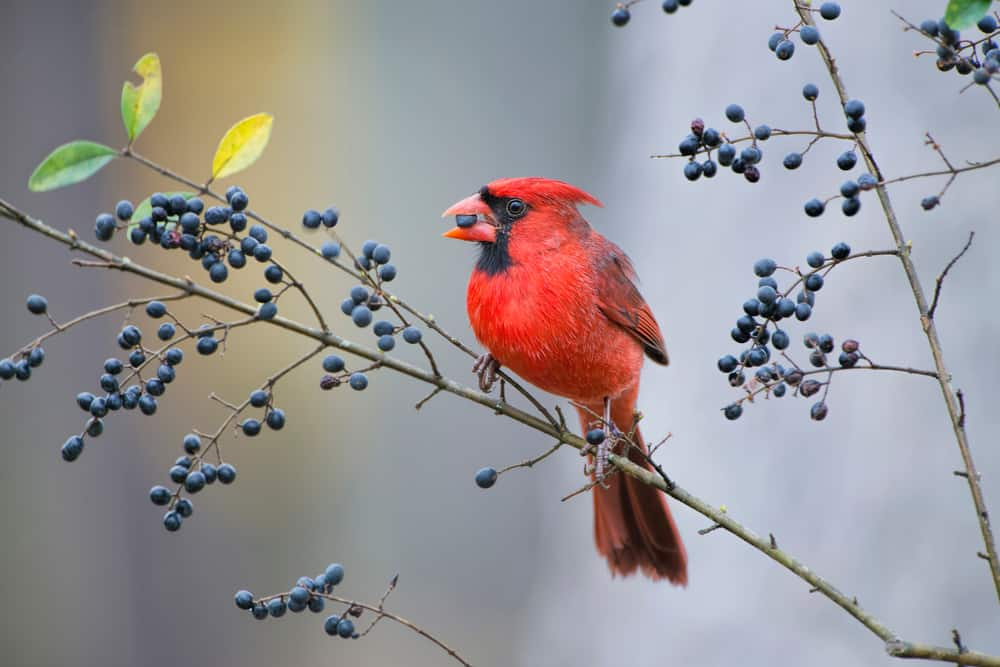 what do cardinals eat