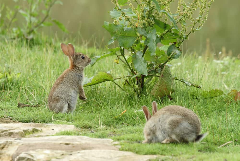 what do wild bunnies eat