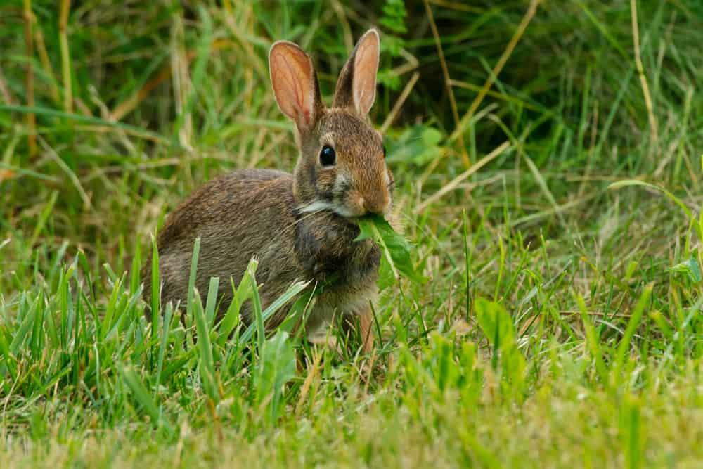 what do wild rabbits eat